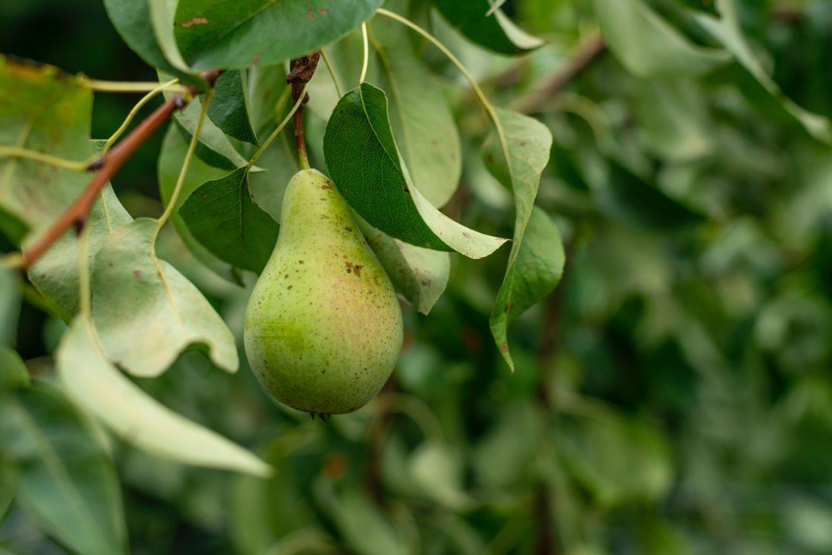 Freonen redden perenbomen van ondergang